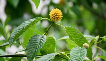 Herbal Kratom Products: Mmm Speciosa Brand Review