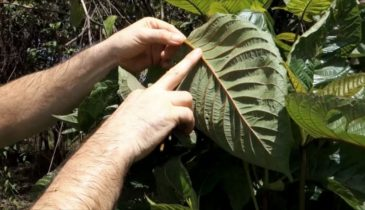 White Elephant Kratom Effects and Important Kratom Details