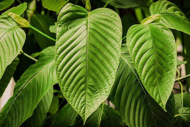Quick Kratom Guide: 3 Types Of Sumatra Kratom That You Should Try