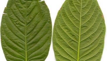 Malaysian Kratom: The Super Strain With Many Benefits