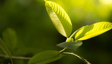 The Facts About Growing and Buying Kratom Seeds Canada