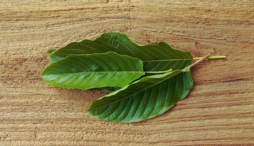 Best Kratom for Pain: Reward Your Body Through These Strains